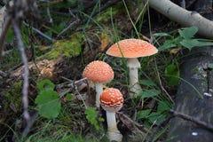 三伞菌 库存图片