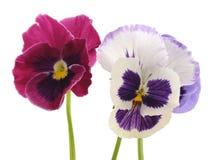 三朵蓝色紫罗兰 库存图片