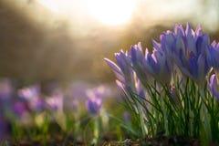 三紫色crocusses在阳光下 免版税图库摄影