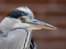 一个伟大蓝色的苍鹭的巢的画象,Ardea herodias 免版税库存照片