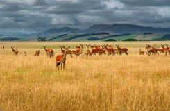 一个大小组野生驯鹿、山和多云天空在背景 图库摄影