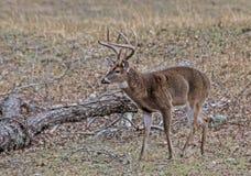 一个大白尾鹿大型装配架与他的周围吻合 库存照片