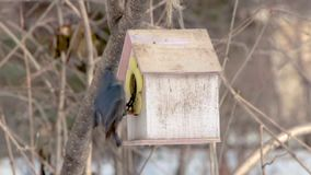 一个小组与彩虹脖子和明亮的眼睛的四只灰色鸽子在白雪在公园在冬天 股票视频