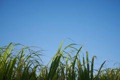 一个小组甘蔗5 图库摄影