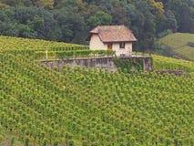 一个葡萄园在日内瓦湖,瑞士地区 图库摄影