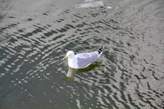 一只不可抗拒的美丽的鸥在春天河的水温文地漂浮 图库摄影