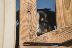 一只伯尔尼的山狗看往照相机,当保持在篱芭后时 能被看见仅一半他的头 他是 免版税库存图片