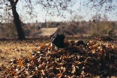 一只小狗的画象在落叶的 免版税库存照片