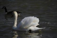 一只幼小天鹅在水镇静地游泳 免版税图库摄影