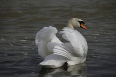 一只幼小天鹅在水镇静地游泳 免版税库存照片