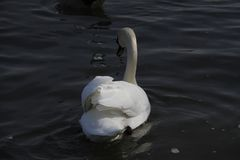 一只幼小天鹅在水镇静地游泳 库存图片