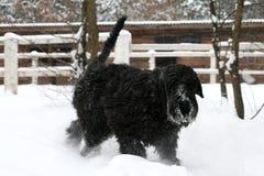 一只幼小巨型髯狗通过雪小跑 免版税库存照片
