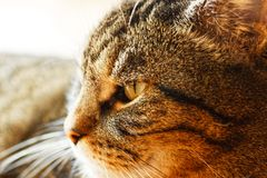 一只公猫的宏指令 免版税库存照片