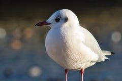 一只红开帐单的鸥的特写镜头画象在海边 免版税库存图片