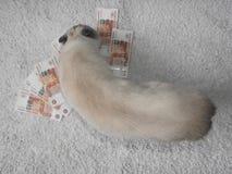 一只白色猫演奏与金钱,被弄脏的背景 库存图片