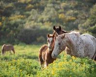 一只驹和它的母亲在一个绿色草甸 免版税库存图片