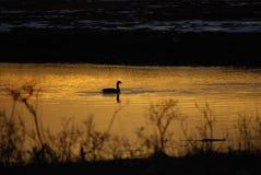 一只鸭子一太阳 库存照片