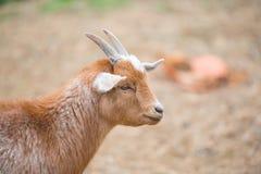 一只逗人喜爱的桔黄色山羊的画象 免版税库存图片