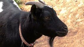 一只逗人喜爱的黑山羊看照相机 影视素材
