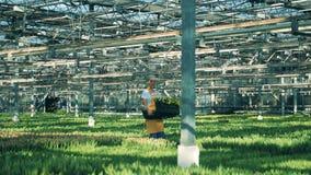 一名工作者自温室运载与郁金香的一个篮子 花托儿所温室 股票视频