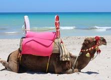 一头骆驼由海说谎 在旅游海岸的骆驼 免版税库存图片