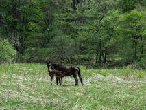 一匹黑马在森林里喂养它的在春天绿色草甸的驹 库存图片