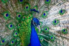 一冬天treepeacock的分支与羽毛的 免版税库存照片