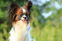 一条小矮小的毛茸的狗在正确的站点坐外部和神色并且伸出他的舌头 风在毛皮吹 免版税库存图片