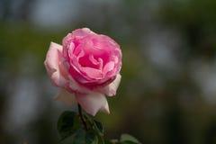 一朵可爱的桃红色玫瑰的特写镜头有被弄脏的背景 免版税图库摄影