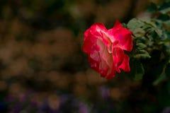 一朵美丽的红色玫瑰的特写镜头在冬天期间在泰国有被弄脏的背景 免版税图库摄影