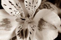 一朵白百合花的宏指令在乌贼属的 免版税库存图片