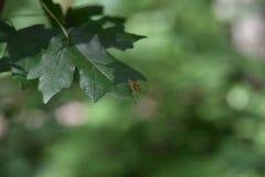 一点在叶子的峰顶的蜂,选择聚焦 免版税库存图片