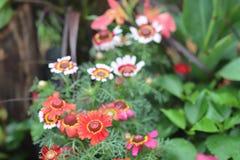 一菊花carinatum快活混杂在花边界 库存照片
