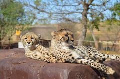 一逗人喜爱的猎豹猎豹属jubatus的画象与斑点的在一种比赛储备在非洲 免版税图库摄影