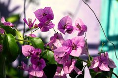 九重葛花在庭院里 库存照片