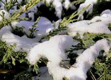 亦称罗汗松baccata共同的赤柏松、英国赤柏松或者欧洲赤柏松,盖用雪 库存图片
