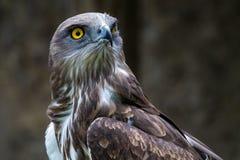 亦称短用脚尖踢的蛇老鹰,circaetus gallicus短用了脚尖踢老鹰 免版税库存照片