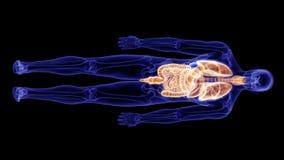 人体器官 库存例证