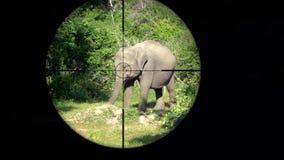 亚洲大象在枪步枪范围看见的亚洲象属maximus 野生生物狩猎 偷猎危险,脆弱,和 股票录像