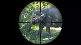 亚洲大象在枪步枪范围看见的亚洲象属maximus 野生生物狩猎 偷猎危险,脆弱,和 股票视频