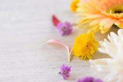 五颜六色新鲜的大丁草的花和在美好白色的背景的延命菊紫色花框架构成 库存照片