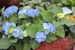 五颜六色的八仙花属花在一个夏日 库存图片