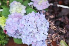 五颜六色的八仙花属花在一个夏日 库存照片
