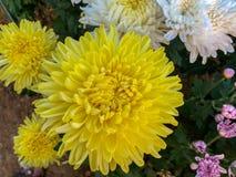 五颜六色的黄色菊花强壮的chrysanth,桃红色,白色在绿色叶子背景 库存照片