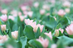 五颜六色的郁金香在庭院里开花 库存图片