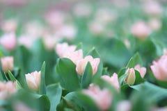 五颜六色的郁金香在庭院里开花 图库摄影