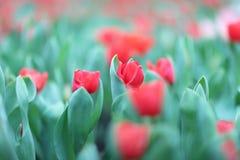 五颜六色的郁金香在庭院里开花 免版税库存照片