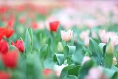 五颜六色的郁金香在庭院里开花 库存照片