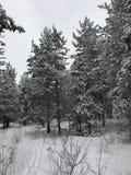 从俄罗斯的斯诺伊森林,翼果 图库摄影