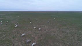 从寄生虫的录影 横跨干草原的Saigas奔跑 股票视频